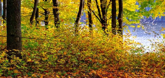 Foresta autunnale con foglie gialle sugli alberi vicino al fiume in una giornata di sole