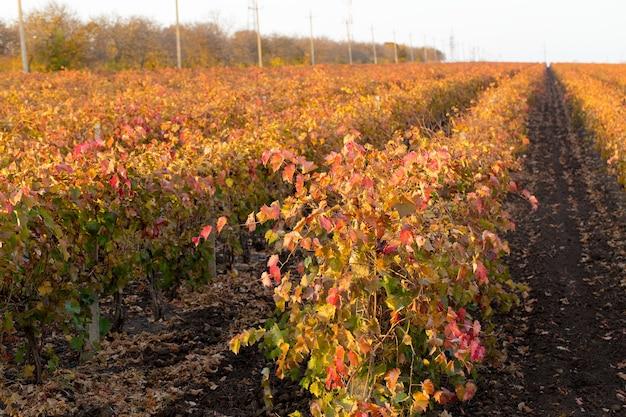 Uva autunnale con foglie rosse, la vite al tramonto è giallo rossastra