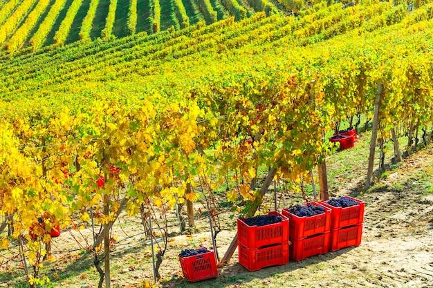 Vendemmia autunnale, vigneti d'oro e uva del piemonte, italia