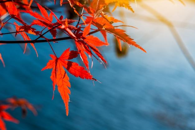 Autunno in giappone, maple cambia colore a stagionale a novembre e foglia illuminata