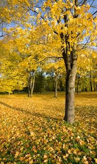 Paesaggio autunnale con alberi ad alto fusto, fogliame giallo, la luce del sole illumina il parco, i cambiamenti autunnali nella natura
