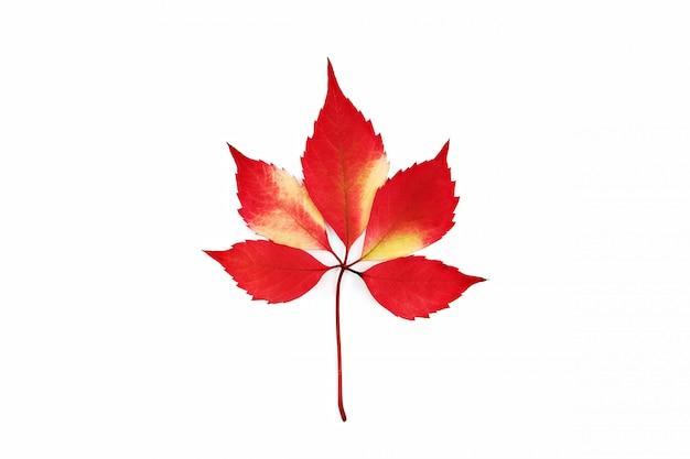 Foglia di autunno del rampicante della virginia isolata