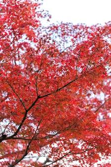 Foglie di autunno di acero giapponese nella giornata di sole.