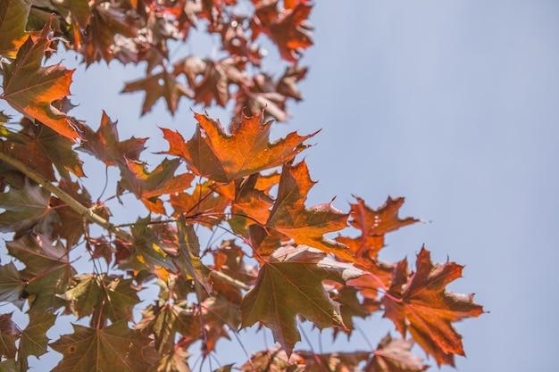 Fondo delle foglie di autunno con spazio libero per testo. foglie di acero autunnali arancioni colorate contro il cielo blu.