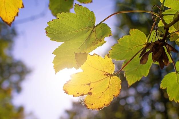 Primo piano delle foglie di autunno sullo sfondo del sole della foresta del parco del cielo