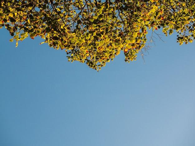 Foglie di autunno di alberi contro un cielo blu brillante, guardando in alto dal fondo.