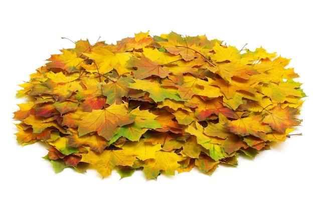 Foglie di acero di autunno isolate su un bianco