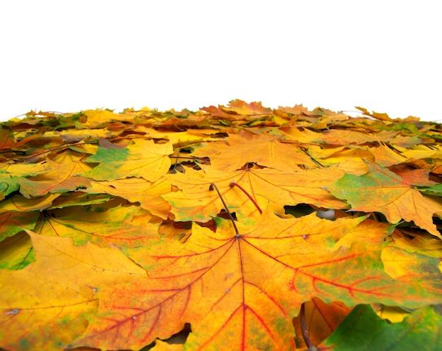 Foglie di acero di autunno isolate su bianco