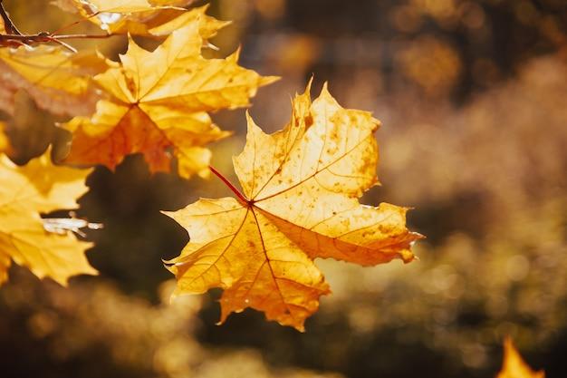 Foglie di acero autunno retroilluminato alla luce del sole. foglie di acero di autunno cadono. foglie di acero retroilluminate in autunno. cadono le foglie d'acero d'autunno