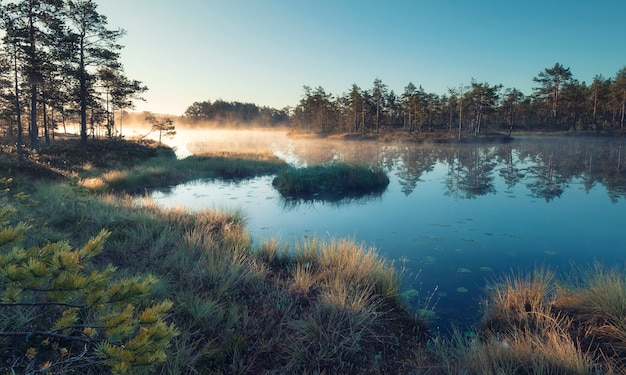 Mattina d'autunno nella palude. paesaggio naturale nel parco nazionale ozernoye swamp con nebbia, erba ingiallita e piccoli pini.