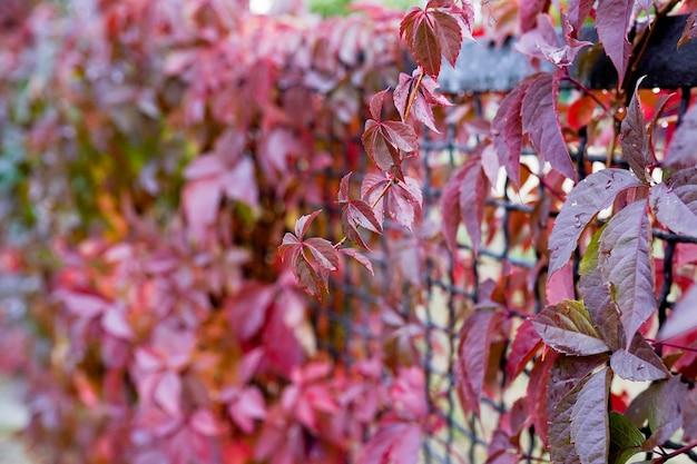 Sfondo di natura autunnale, foglie rosse nel parco