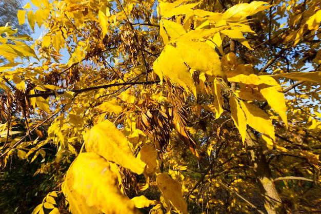 Natura autunnale e sua influenza sulla natura, piante durante o prima della caduta delle foglie con caratteristiche autunnali specifiche, primo piano