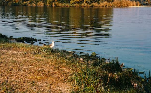 Paesaggio naturale autunnale con superficie del fiume, erba, uccello gabbiano ambulante