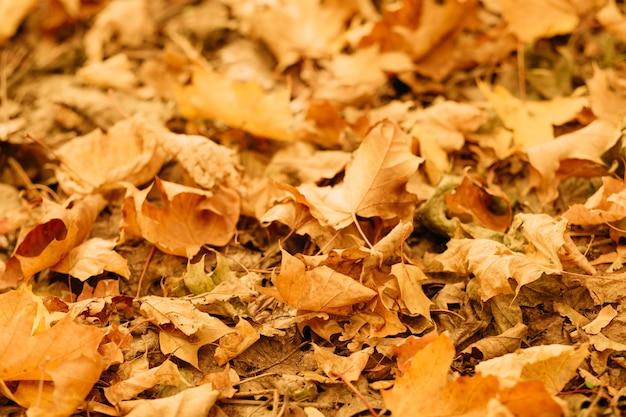 Parco naturale d'autunno. primo piano del fogliame dorato. foglie cadute a terra.