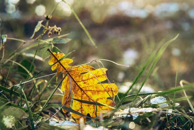 Foglia di quercia di autunno e primo fondo della neve