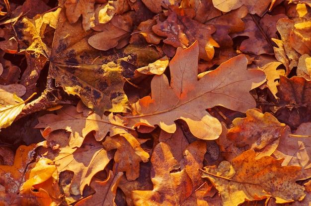 Priorità bassa delle foglie di quercia di autunno