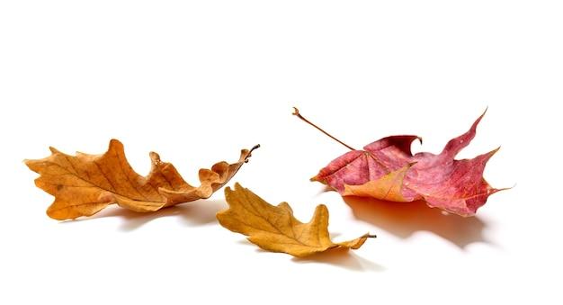 Composizione di foglie di acero e quercia d'autunno isolata su sfondo bianco