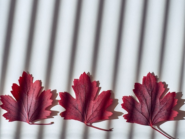 Foglie rosse di autunno su bianco
