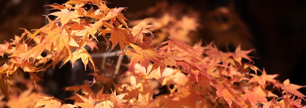 Autumn red maple leaves con il fondo del copyspace.