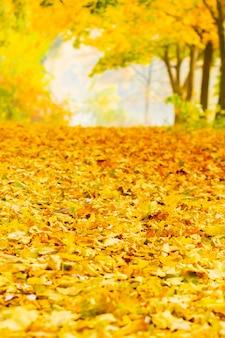 Foglie di stagione autunnale. foglie di acero cadute nella foresta. foglia di acero dorata su sfondo giallo sfocato.