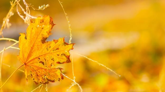 Foglie di stagione autunnale. foglie di acero cadute nella foresta