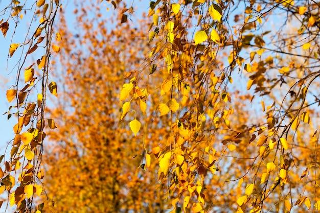 Il sole autunnale splende attraverso il fogliame durante la caduta delle foglie, primo piano in natura con alberi di acero
