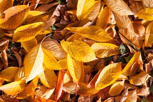 Il sole autunnale splende attraverso le foglie dopo la caduta delle foglie, primo piano nella natura
