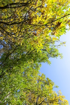 L'albero autunnale con fogliame cambia colore nella stagione autunnale