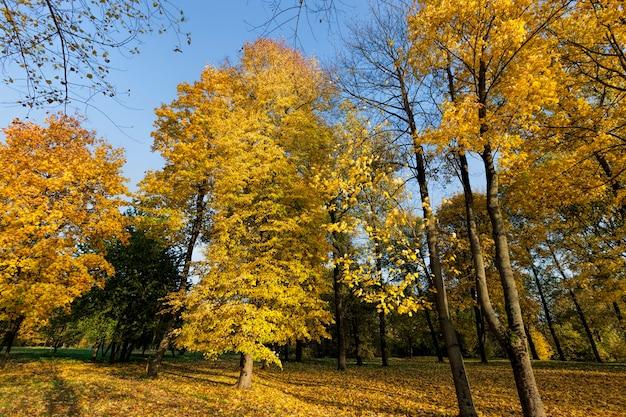 Albero autunnale con fogliame che ha cambiato colore nella stagione autunnale, paesaggio di alberi decidui nella stagione autunnale durante la caduta delle foglie, natura