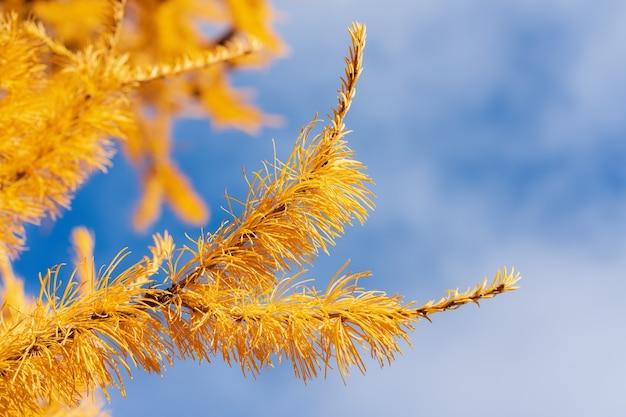 Ramo giallo autunnale di larice sullo sfondo del cielo azzurro con nuvole