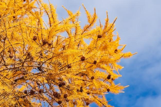 Ramo giallo autunnale di larice con pigne sullo sfondo del cielo azzurro con nuvole