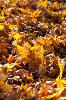 Fogliame giallo autunnale durante la caduta delle foglie, in natura nel parco caduto nell'erba, primo piano