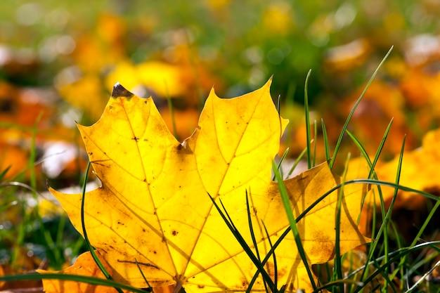 Il fogliame giallo autunnale durante la caduta delle foglie, in natura nel parco è caduto nell'erba