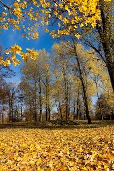 Fogliame giallo autunnale durante la caduta delle foglie, in natura nel parco e rami degli alberi, paesaggio in tempo soleggiato autunnale