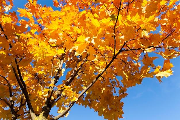 Fogliame giallo autunnale durante la caduta delle foglie, in natura nel parco e nei rami degli alberi