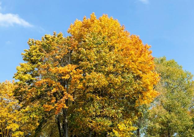 Fogliame giallo autunnale durante la caduta delle foglie, in natura nel parco