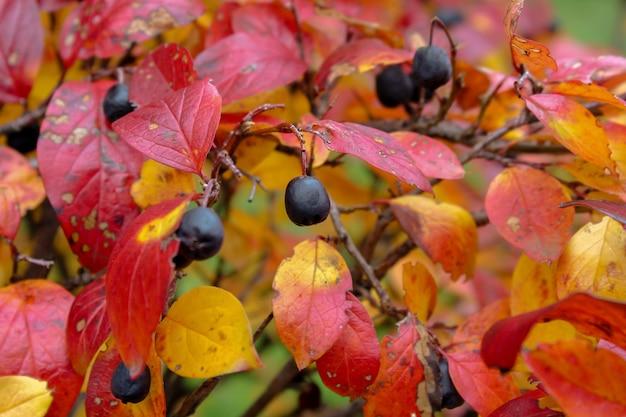 Autunno. foglie rosse gialle e arancioni con bacche nere mature contro le foglie, che ondeggiano al vento in diverse direzioni creando un buon umore