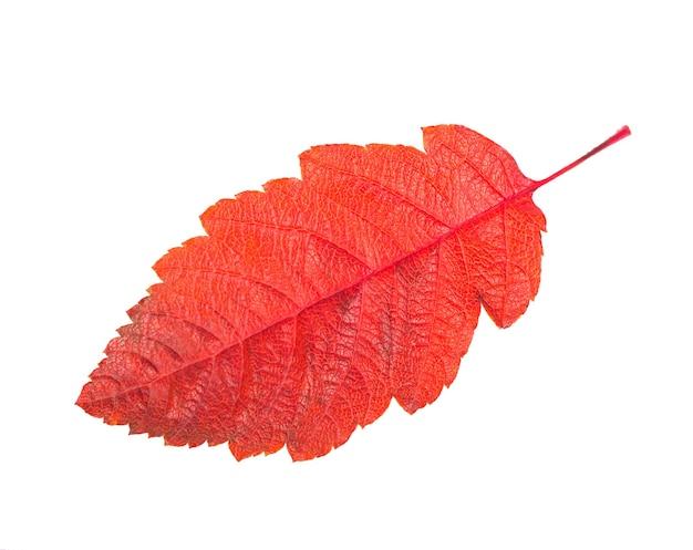 Filiale rossa variopinta autunnale della sorba isolata su bianco.