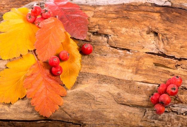 Filiale di sorbo rosso colorato autunnale su una superficie di legno