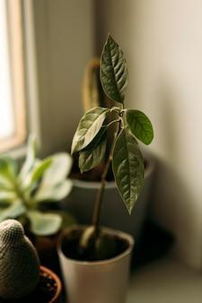 Semi di avocado germogliati dalla pianta di avocado