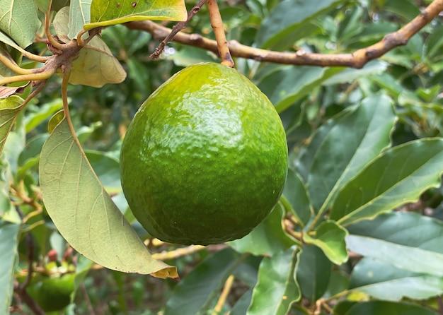 Primo piano dell'albero di avocado, sfondo naturale. concetto di cibo sano