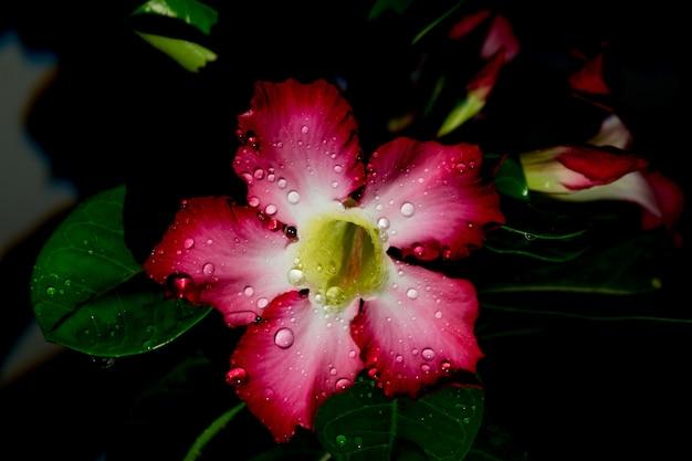 L'azalea fiorisce la notte la goccia scura dell'acqua