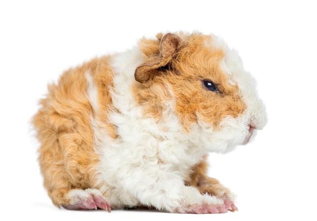 Baby alapaca guinea pig 1 giorno di età