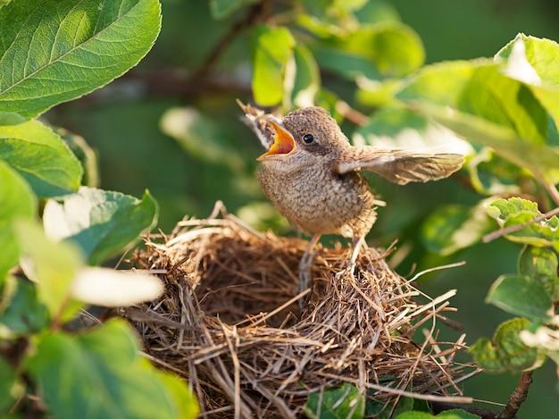 Baby bird seduto sul bordo del nido e cercando di volare