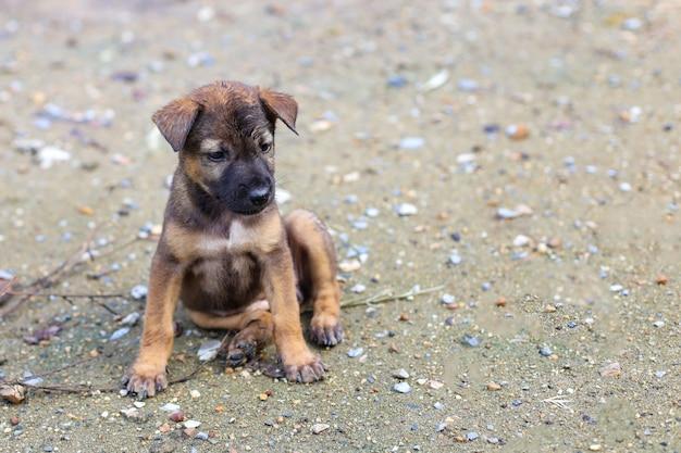 Il cucciolo tailandese marrone è seduto e carino in giardino
