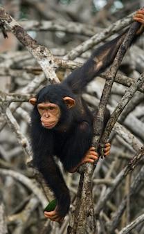 Baby scimpanzé sui rami di mangrovie