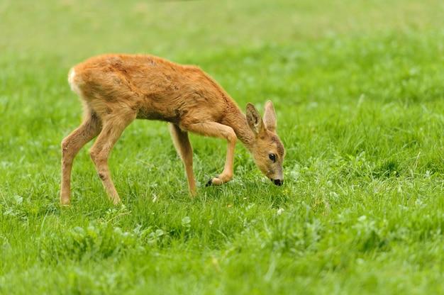 Baby cervo in erba