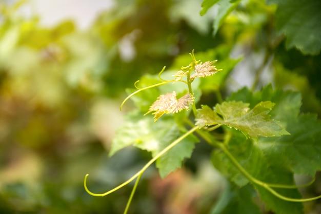 Foglie di vite e vite in vigna con sfondo verde sfocato.
