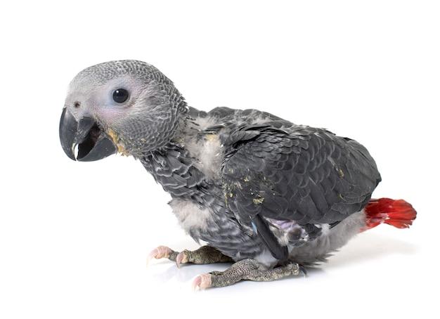Pappagallo grigio bambino