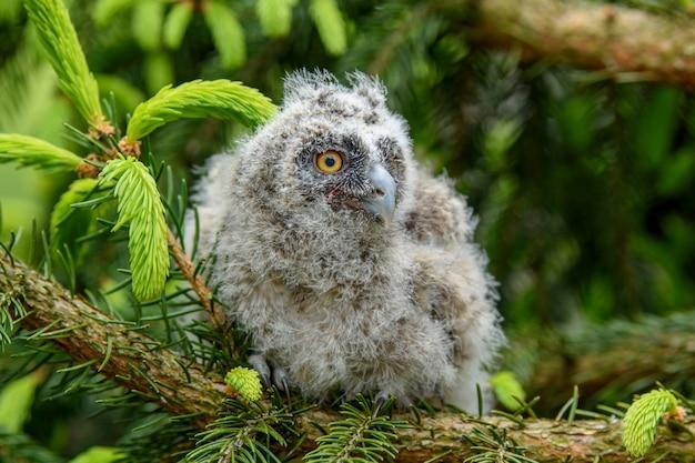 Gufo comune del bambino nel bosco, seduto sul tronco d'albero nell'habitat della foresta